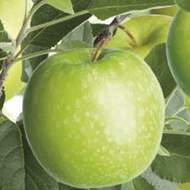 Jabloň 'Granny Smith'