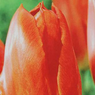Tulipán Orange Emperor 10ks