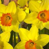 Narcis 'Red Devon' 5ks