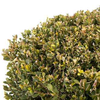 Buxus sempervirens ´Faulkner´ krychle