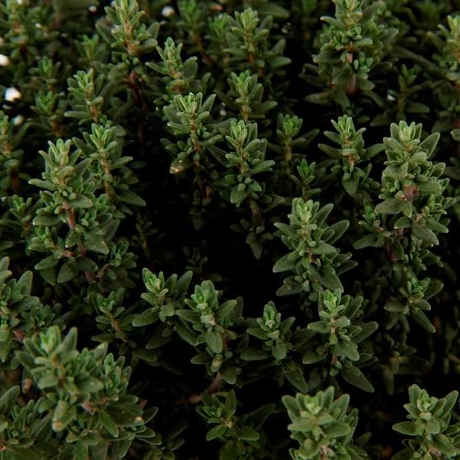 Tymián obecný květináč 14cm