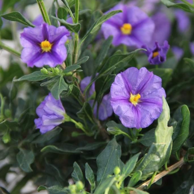 Solanum rantonetti květináč 18cm