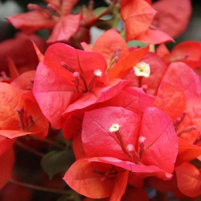 Bougainvillea květináč 17cm