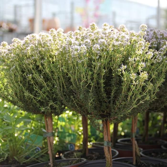 Tymián květináč kmínek 14cm