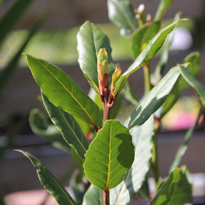 Vavřín vznešený Bobkový list květináč 14cm