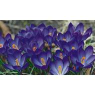 Krokus Whitewell Purple 10ks