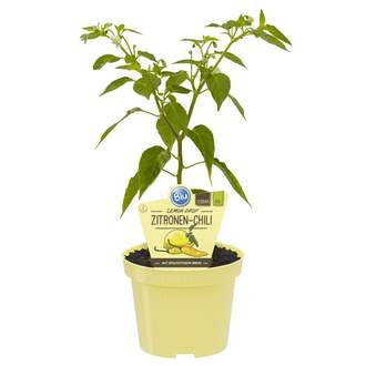 Chilli 'Lemon Drop' BIO 12cm