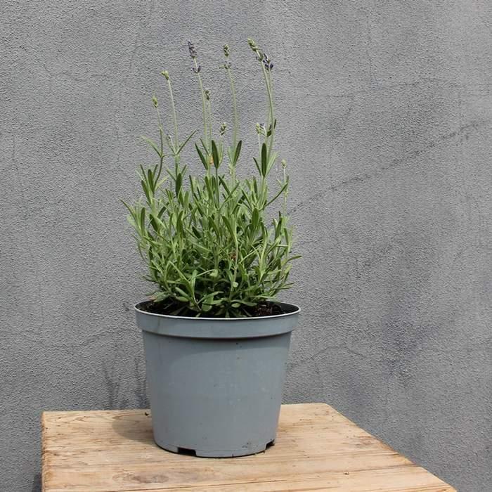 Levandule úzkolistá 'Hidcote' květináč 14cm
