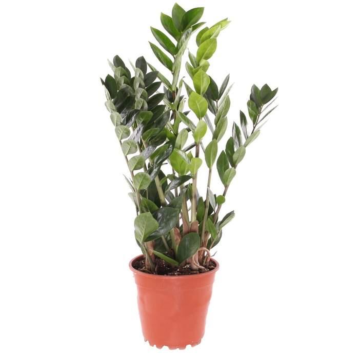 Zamiokulkas květináč 17cm