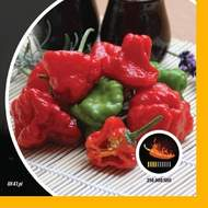 Paprika chilli Jamaican Rosso PIQUANT
