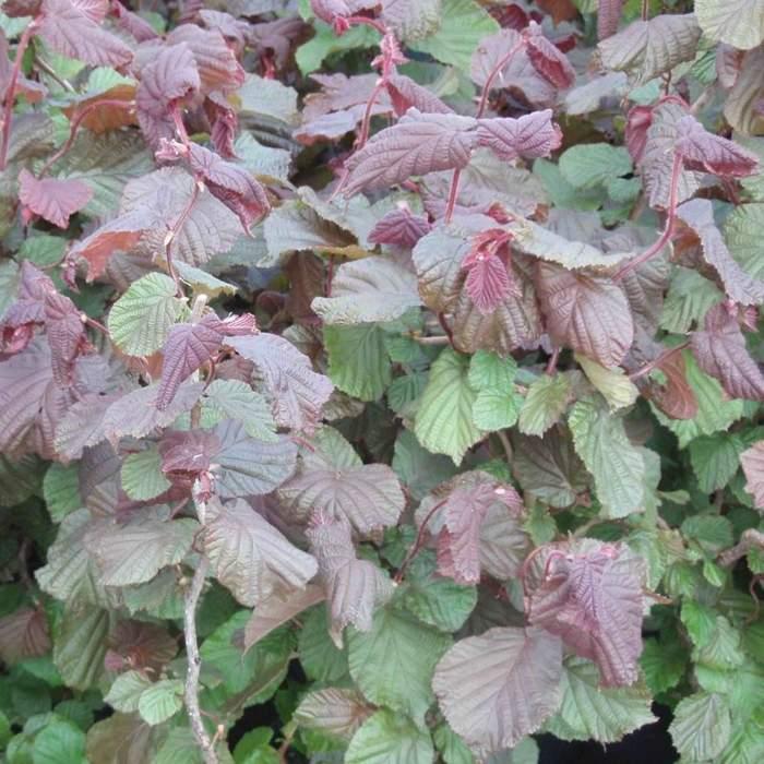 Líska obecná 'Red majestic' květináč 4litry