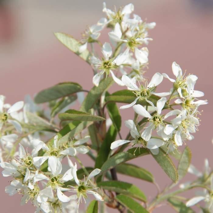 Muchovník Lamarckův květináč 3litry