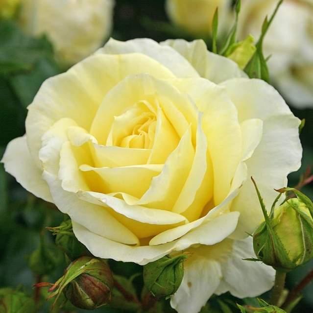 Růže Kordes 'Limona' 2L kontejner