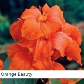 Kana 'Orange Beauty' 1ks