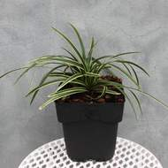 Carex morrowii 'Ice Dance' C2