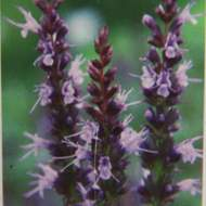 Agastache 'After Eight' 9cm