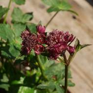 Astrantia major 'Abbey Road'® 11cm