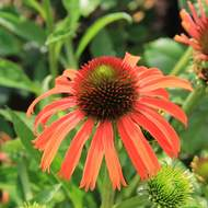 Echinacea 'Skipper Orange' 2 litry