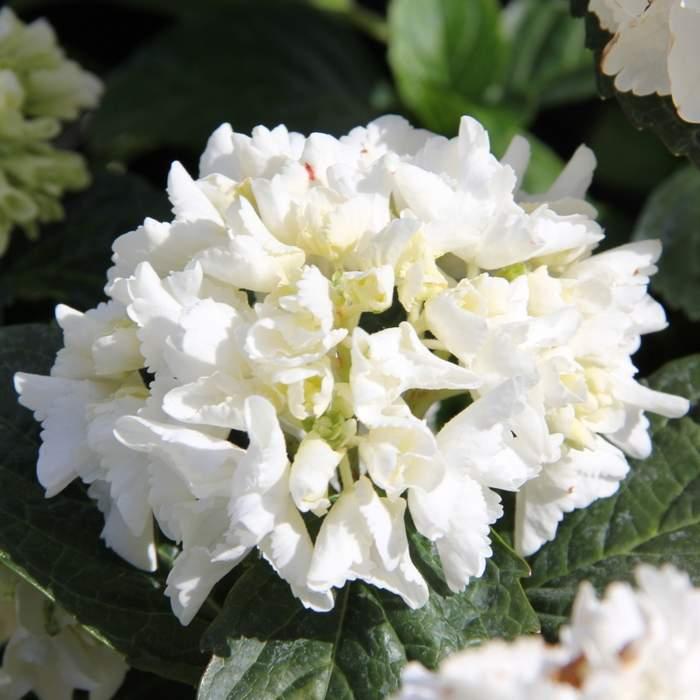 Hortenzie velkolistá bílá 5 litrů