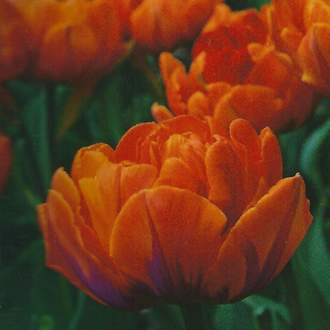 Tulipán 'Orange Princesse' 10ks