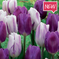 Tulipán Flaming Purple mix 25ks