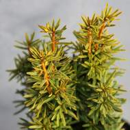 Taxus baccata 'David' 2 litry
