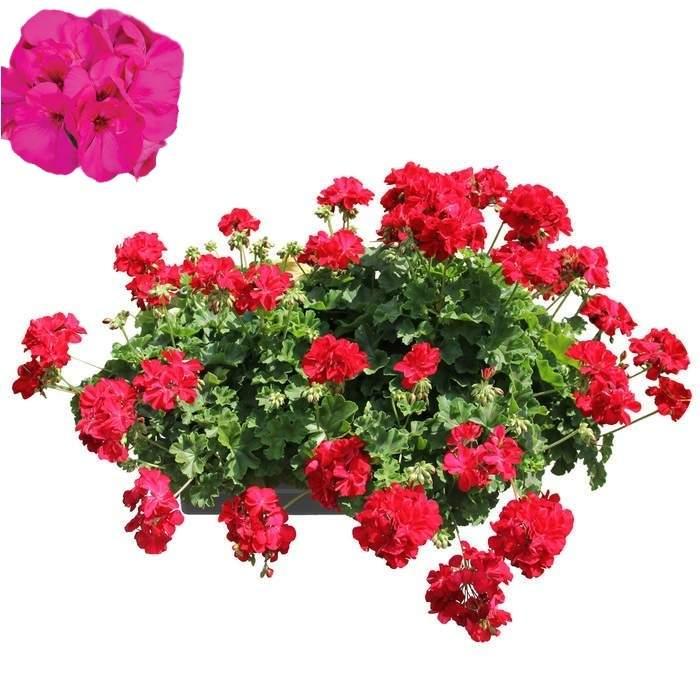 Nestárnoucí klasika Lavender Rose