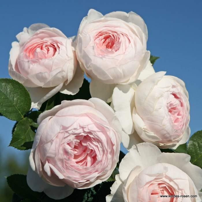 Růže Kordes Parfuma 'Herzonig Christiana' 2L kontejner