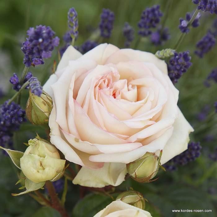 Růže Kordes Parfuma 'Madame Annisete' 2L kontejner