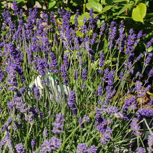 Levandule úzkolistá 'Essence Purple' 5 litrů