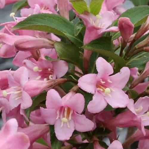 Vajgélie květnatá 'Pink Poppet'® 2,5 litru