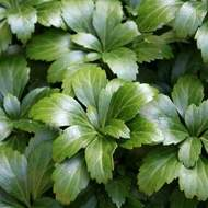 Pachysandra klasnatá 'Green Sheen' 6pack