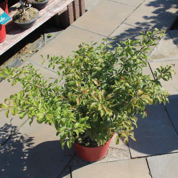 Buk lesní 'Sandrode' 7,5 litru