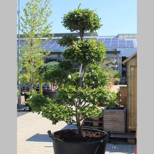 Buk lesní bonsai 150/175cm