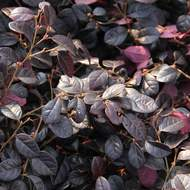 Loropetalum 'Black Pearl' C10
