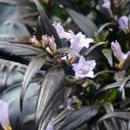 Strobilanthes 'Brunetthy' 3,4 litru