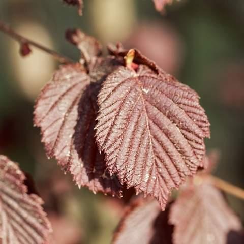 Líska obecná 'Roter Zellernuss' květináč 5 litrů, keř, částečně samosprašná