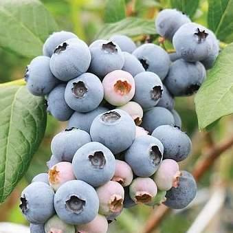 Kanadská borůvka 'Powder Blue' květináč 2 litry, keř